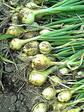 無肥料の玉ねぎ